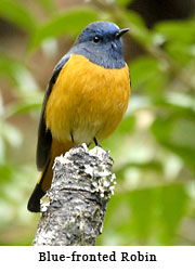 Blue-fronted Robin